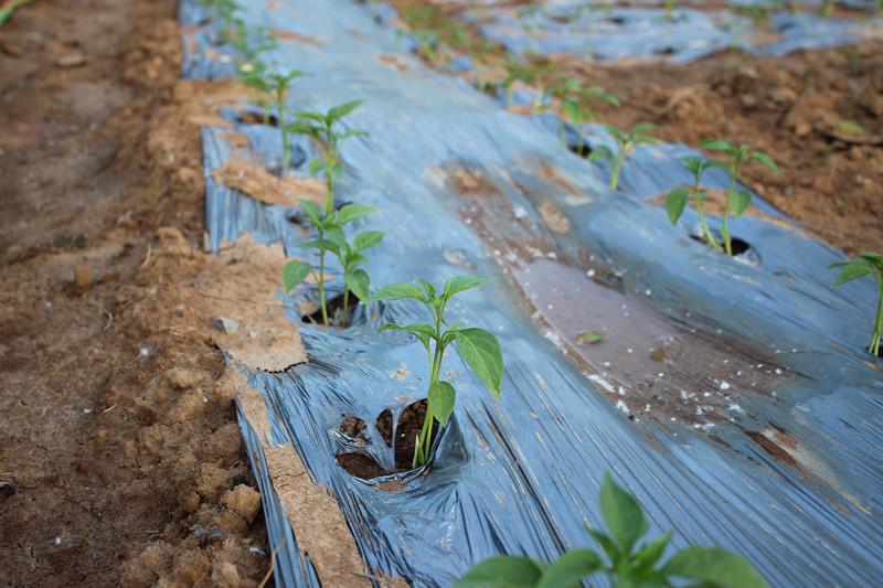 移栽浇水后定植